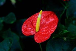 세상에서 가장 아름다운 홍학꽃(안시리움 안드레아넘(Anthurium andraeanum)