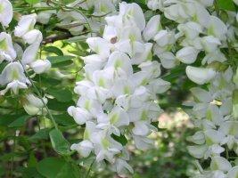 제철맞은 아카시아 꽃들