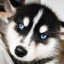 잘생긴 강아지 폼스키 루니 너무 멋지네요