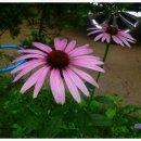 (정원) 분홍꽃 에키네시아와 노란꽃 루드베키아
