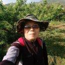 매실나무 키우기