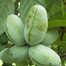 포포나무 효능과 재배법