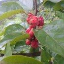 구지뽕 나무와 구지뽕 열매