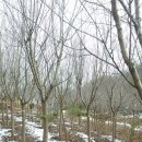 왕벚나무 B10~15판매(다른 수목도 보유중)