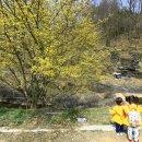 봄날의 기지개 활짝! 의성 산수유꽃피는마을에서 알리는 봄의 시작