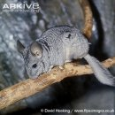 친칠라(Long-tailed chinchilla)[Chinchilla lanigera]