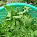 박하 효소담기 + 새로온 식물들 ㅋ