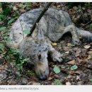 늑대를 죽인 스라소니