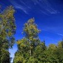 """알래스카 """" 가을 자작나무 산책로 """""""