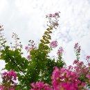 전주여행 정혜사 - 배롱나무꽃이 피었다