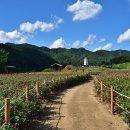 [평창여행] 평창백일홍축제, 화려한 백일홍과 함께 찾아온 가을의 향기