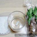 수경재배 행운목 식물연구소 온라인 구매후기