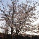 인천 송도 벚꽃 현황♥ 송도 해돋이공원 산책