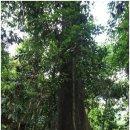 상업화된 열대 우림과 야생 오랑우탄