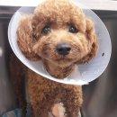 <제주 리더스동물병원> 횡격막 허니아 수술...초코', 강아지 교통사고, 횡경막...