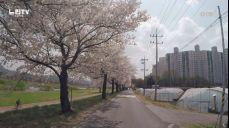 [느린TV] 벚꽃엔딩
